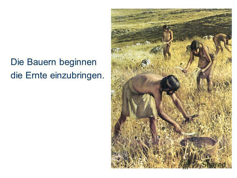 Die Bauern beginnen die Ernte einzubringen.
