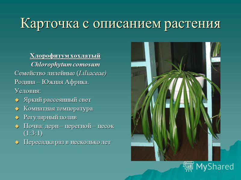 Карточка с описанием растения Хлорофитум хохлатый Chlorophytum comosum Семейство лилейные (Liliaceae) Родина – Южная Африка. Условия: Яркий рассеянный свет Яркий рассеянный свет Комнатная температура Комнатная температура Регулярный полив Регулярный