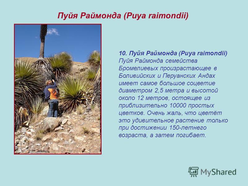 10. Пуйя Раймонда (Puya raimondii) Пуйя Раймонда семейства Бромелиевых произрастающее в Боливийских и Перуанских Андах имеет самое большое соцветие диаметром 2,5 метра и высотой около 12 метров, состоящее из приблизительно 10000 простых цветков. Очен