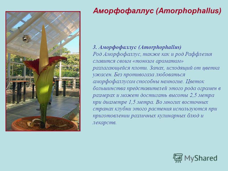 3. Аморфофаллус (Amorphophallus) Род Аморфофаллус, также как и род Раффлезия славится своим «тонким ароматом» разлагающейся плоти. Запах, исходящий от цветка ужасен. Без противогаза любоваться аморфофаллюсом способны немногие. Цветок большинства пред