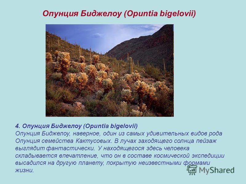 4. Опунция Биджелоу (Opuntia bigelovii) Опунция Биджелоу, наверное, один из самых удивительных видов рода Опунция семейства Кактусовых. В лучах заходящего солнца пейзаж выглядит фантастически. У находящегося здесь человека складывается впечатление, ч