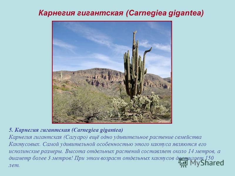 5. Карнегия гигантская (Carnegiea gigantea) Карнегия гигантская (Сагуаро) ещё одно удивительное растение семейства Кактусовых. Самой удивительной особенностью этого кактуса являются его исполинские размеры. Высота отдельных растений составляет около