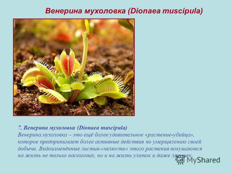 7. Венерина мухоловка (Dionaea muscipula) Венерина мухоловка – это ещё более удивительное «растение-убийца», которое предпринимает более активные действия по умерщвлению своей добычи. Видоизменённые листья-»челюсти» этого растения покушаются на жизнь