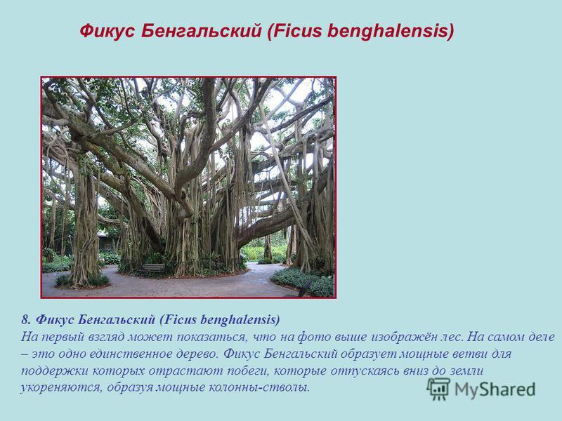 8. Фикус Бенгальский (Ficus benghalensis) На первый взгляд может показаться, что на фото выше изображён лес. На самом деле – это одно единственное дерево. Фикус Бенгальский образует мощные ветви для поддержки которых отрастают побеги, которые отпуска