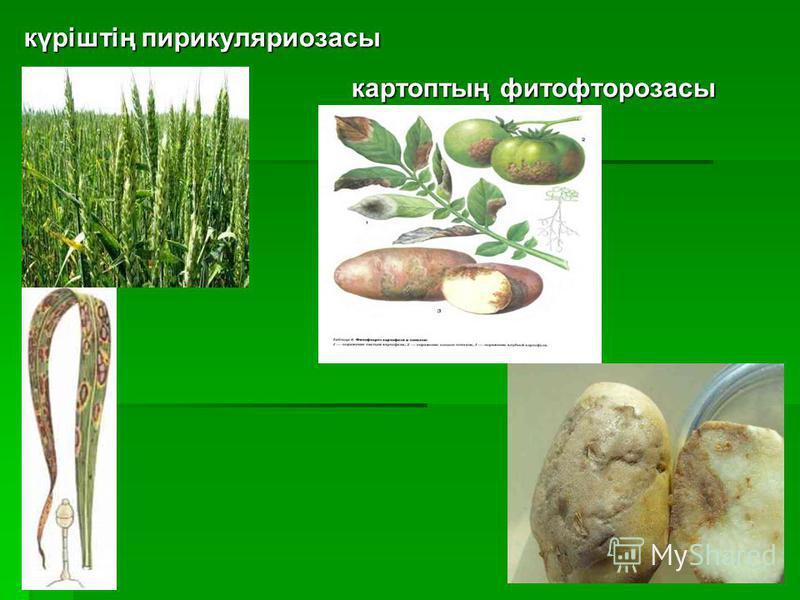 күріштің пирикуляриозасы картоптың фитофторозасы картоптың фитофторозасы
