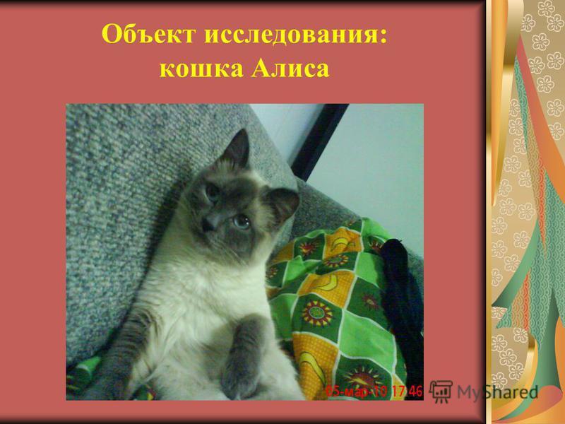 Объект исследования: кошка Алиса