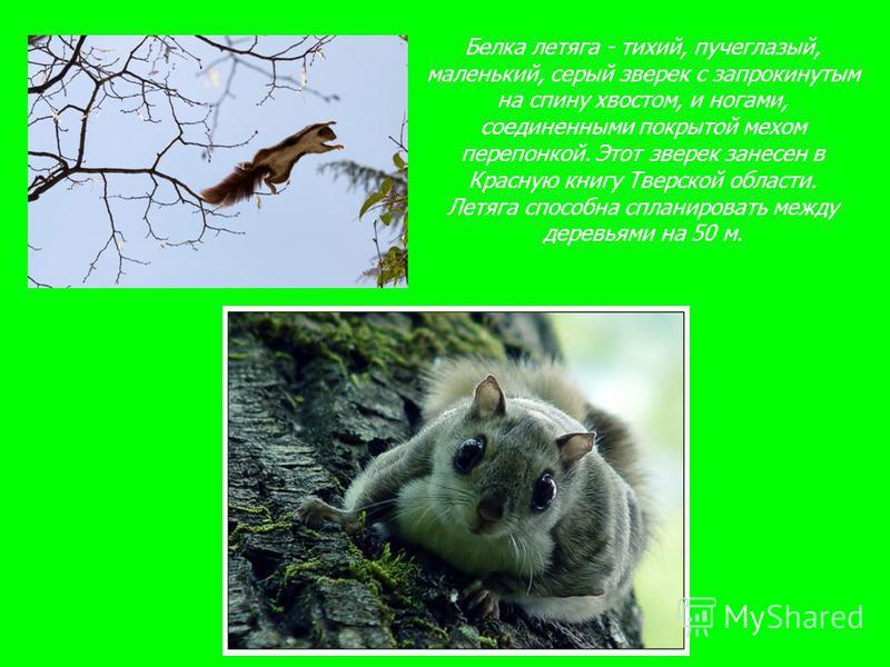 Белка летяга - тихий, пучеглазый, маленький, серый зверек с запрокинутым на спину хвостом, и ногами, соединенными покрытой мехом перепонкой. Этот зверек занесен в Красную книгу Тверской области. Летяга способна спланировать между деревьями на 50 м.