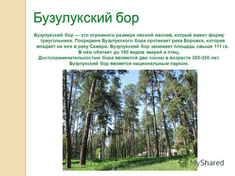 Бузулукский бор Бузулукский бор это огромного размера лесной массив, который имеет форму треугольника. Посредине Бузулукского бора протекает река Боровка, которая впадает на юге в реку Самара. Бузулукский бор занимает площадь свыше 111 га. В нём обит