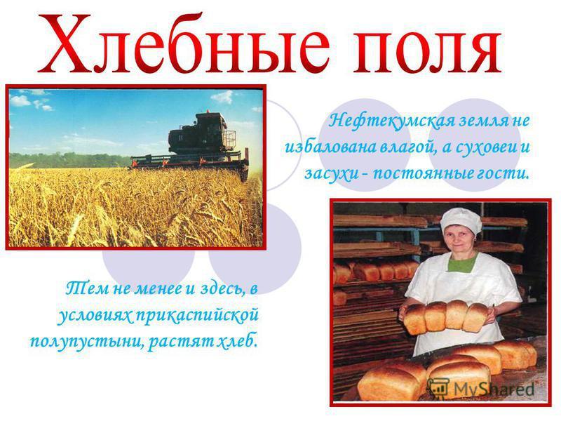 Нефтекумская земля не избалована влагой, а суховеи и засухи - постоянные гости. Тем не менее и здесь, в условиях прикаспийской полупустыни, растят хлеб.