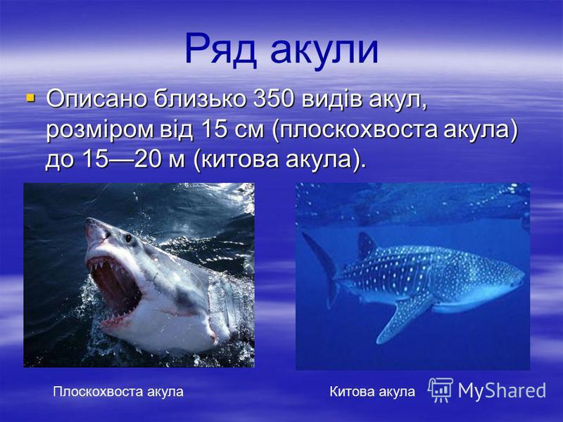 Описано близько 350 видів акул, розміром від 15 см (плоскохвоста акула) до 1520 м (китова акула). Описано близько 350 видів акул, розміром від 15 см (плоскохвоста акула) до 1520 м (китова акула). Плоскохвоста акулаКитова акула Ряд акули