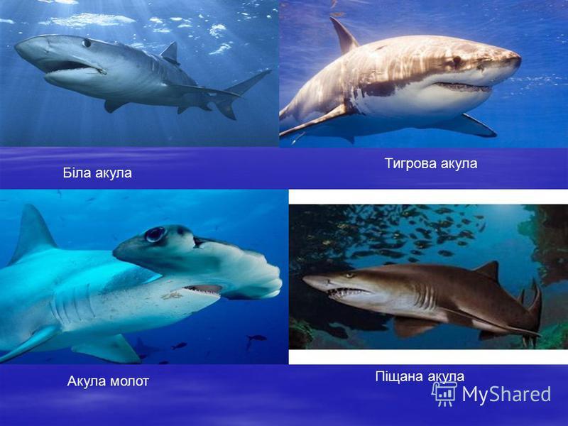Біла акула Тигрова акула Акула молот Піщана акула