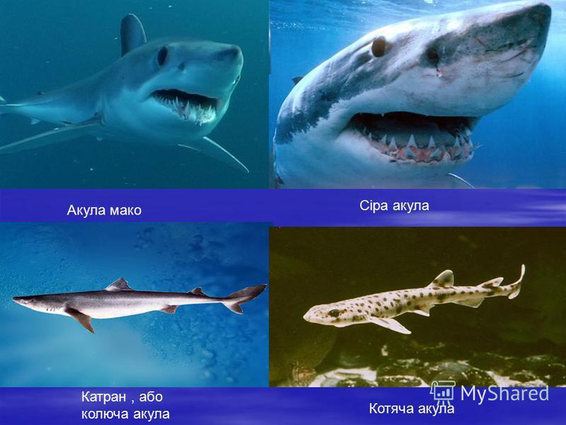 Акула мако Сіра акула Катран, або колюча акула Котяча акула