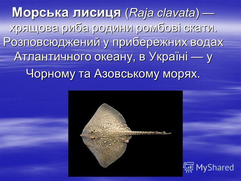 Морська лисиця (Raja clavata) хрящова риба родини ромбові скати. Розповсюджений у прибережних водах Атлантичного океану, в Україні у Чорному та Азовському морях.
