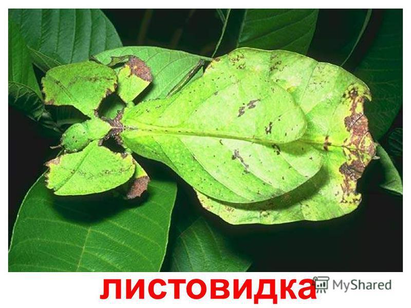 шелкопряд