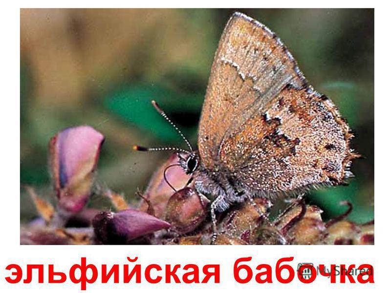 калифорнийская бабочка