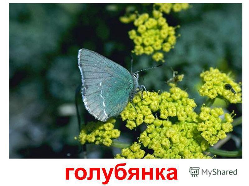 эльфийская бабочка