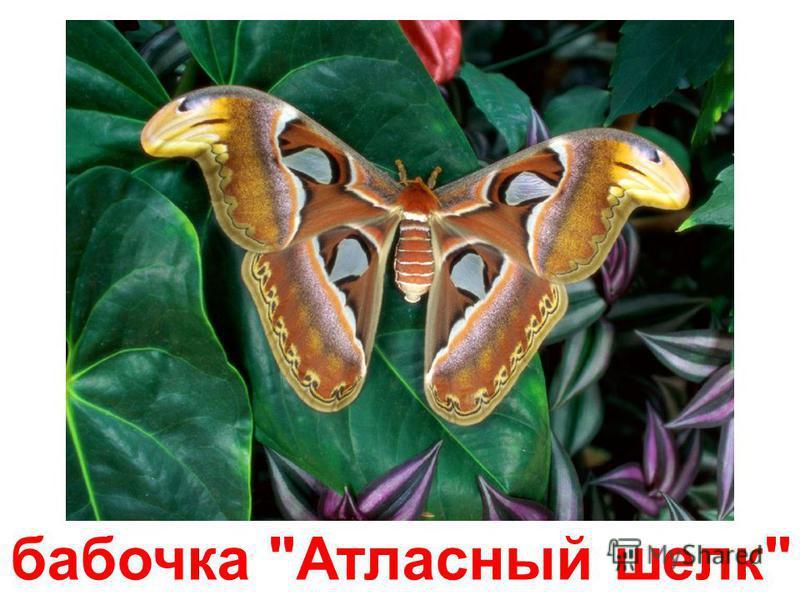 королевская бабочка