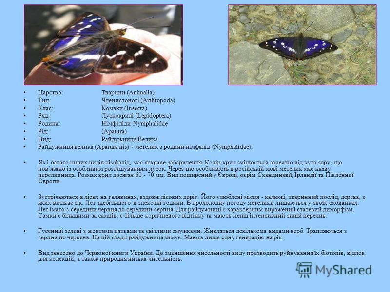 Царство:Тварини (Animalia) Тип:Членистоногі (Arthropoda) Клас:Комахи (Insecta) Ряд:Лускокрилі (Lepidoptera) Родина:Німфаліди Nymphalidae Рід:(Apatura) Вид:Райдужниця Велика Райдужниця велика (Apatura iris) - метелик з родини німфалід (Nymphalidae). Я