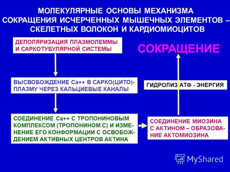МОЛЕКУЛЯРНЫЕ ОСНОВЫ МЕХАНИЗМА СОКРАЩЕНИЯ ИСЧЕРЧЕННЫХ МЫШЕЧНЫХ ЭЛЕМЕНТОВ – СКЕЛЕТНЫХ ВОЛОКОН И КАРДИОМИОЦИТОВ ДЕПОЛЯРИЗАЦИЯ ПЛАЗМОЛЕММЫ И САРКОТУБУЛЯРНОЙ СИСТЕМЫ ВЫСВОБОЖДЕНИЕ Са++ В САРКО(ЦИТО)- ПЛАЗМУ ЧЕРЕЗ КАЛЬЦИЕВЫЕ КАНАЛЫ СОЕДИНЕНИЕ Са++ С ТРОПОН