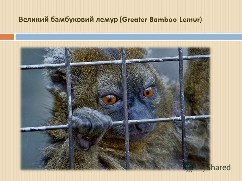 Великий бамбуковий лемур (Greater Bamboo Lemur)