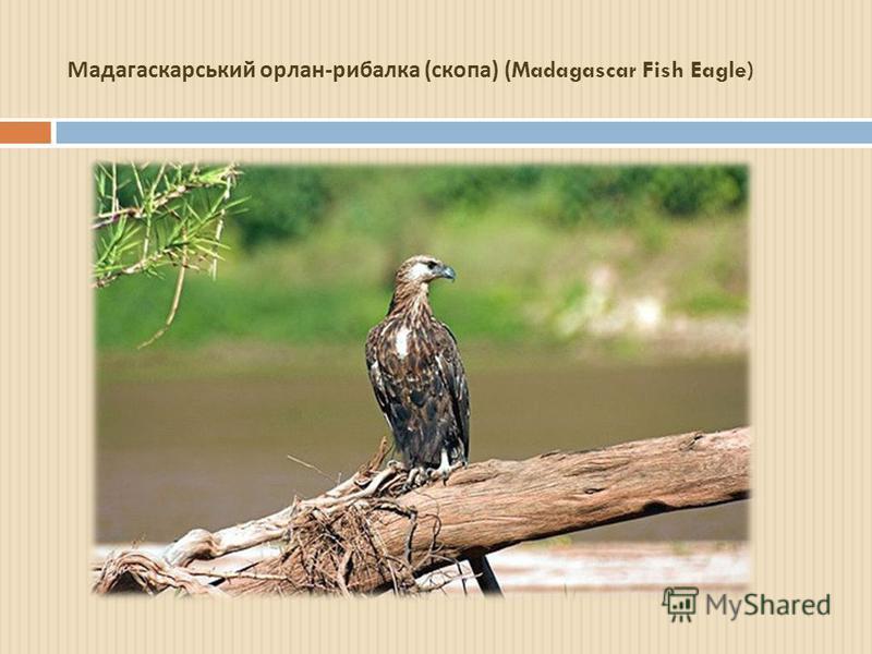 Мадагаскарський орлан - рибалка ( скопа ) (Madagascar Fish Eagle)