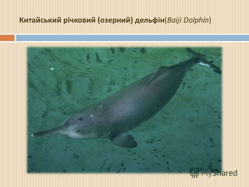 Китайський річковий ( озерний ) дельфін (Baiji Dolphin)