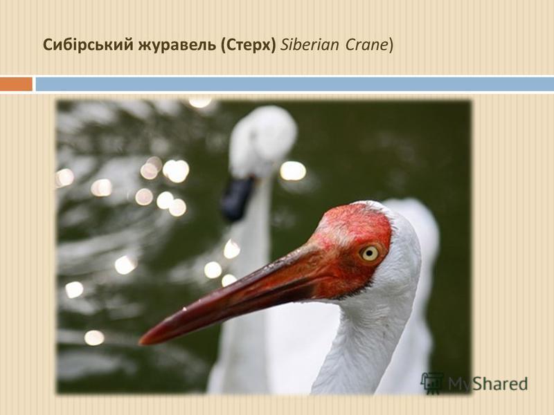 Сибірський журавель ( Стерх ) Siberian Crane)