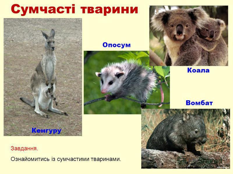 Сумчасті тварини Кенгуру Опосум Коала Вомбат Завдання. Ознайомитись із сумчастими тваринами.