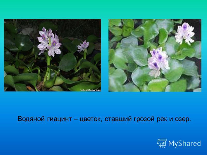 Водяной гиацинт – цветок, ставший грозой рек и озер.