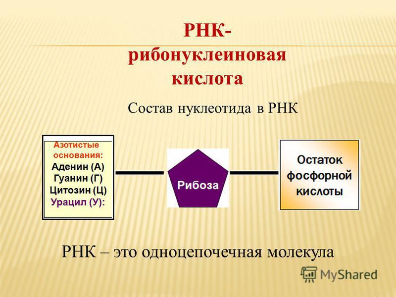 РНК- рибонуклеиновая кислота Состав нуклеотида в РНК РНК – это одноцепочечная молекула