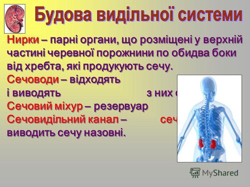Нирки – парні органи, що розміщені у верхній частині черевної порожнини по обидва боки від хребта, які продукують сечу. Сечоводи – відходять від нирок і виводять з них сечу. Сечовий міхур – резервуар сечі. Сечовидільний канал – сечівник – виводить се