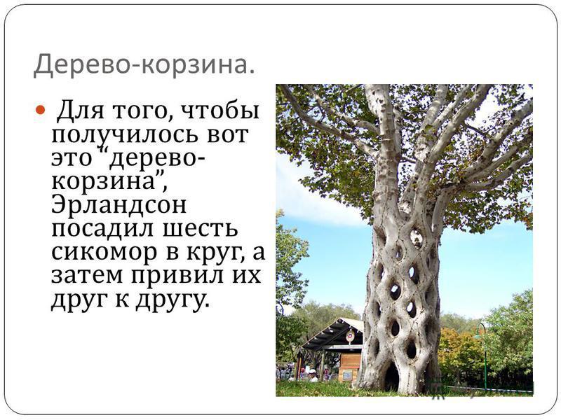 Дерево - корзина. Для того, чтобы получилось вот это дерево - корзина, Эрландсон посадил шесть сикомор в круг, а затем привил их друг к другу.