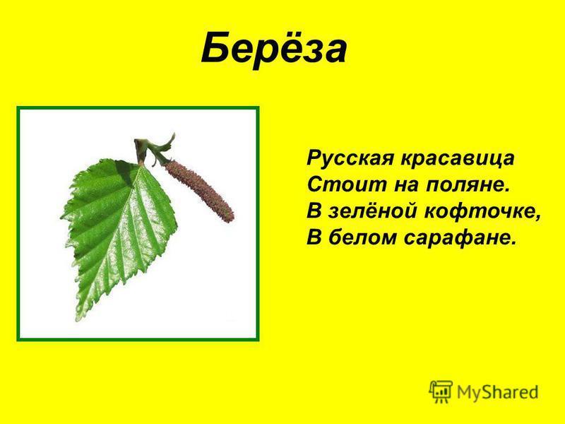 Берёза Русская красавица Стоит на поляне. В зелёной кофточке, В белом сарафане.