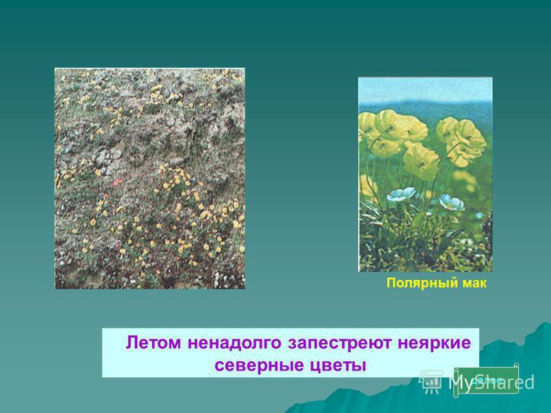 Летом ненадолго запестреют неяркие северные цветы Полярный мак далее