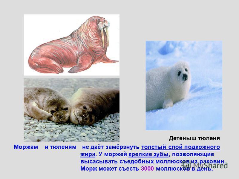 не даёт замёрзнуть толстый слой подкожного жира. У моржей крепкие зубы, позволяющие высасывать съедобных моллюсков из раковин. Морж может съесть 3000 моллюсков в день. Моржами тюленям Детеныш тюленя