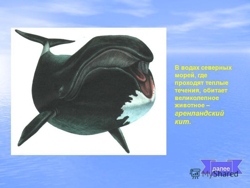 В водах северных морей, где проходят теплые течения, обитает великолепное животное – гренландский кит. далее