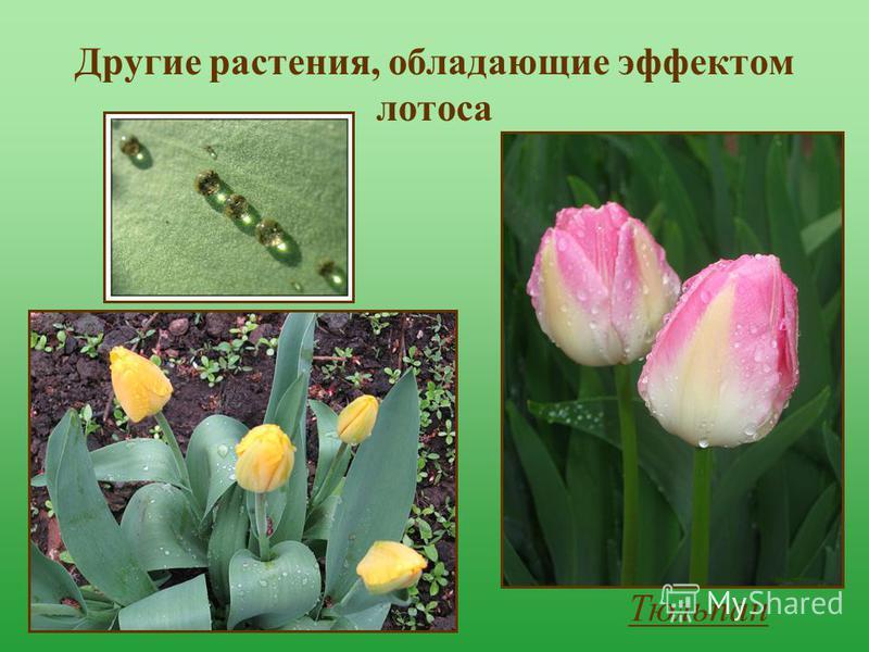 Другие растения, обладающие эффектом лотоса Тюльпан