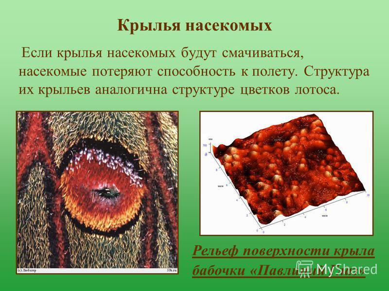 Крылья насекомых Если крылья насекомых будут смачиваться, насекомые потеряют способность к полету. Структура их крыльев аналогична структуре цветков лотоса. Рельеф поверхности крыла бабочки «Павлиний Глаз»