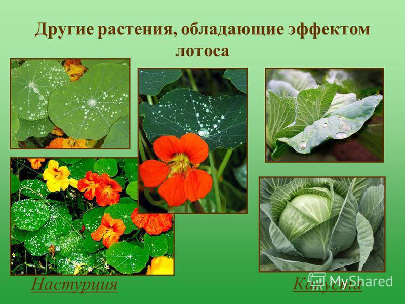Другие растения, обладающие эффектом лотоса Настурция Капуста