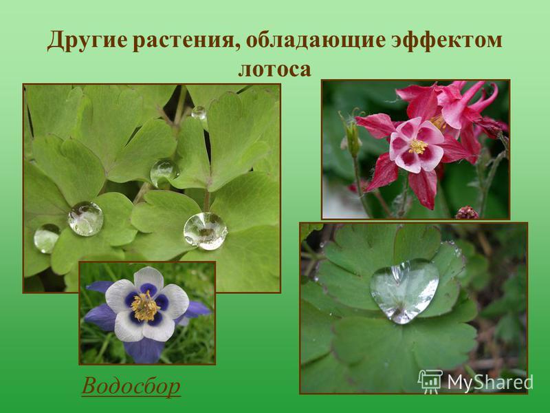 Другие растения, обладающие эффектом лотоса Водосбор