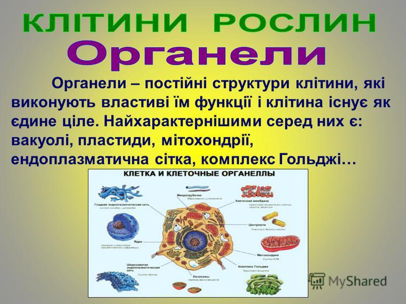 Органели – постійні структури клітини, які виконують властиві їм функції і клітина існує як єдине ціле. Найхарактернішими серед них є: вакуолі, пластиди, мітохондрії, ендоплазматична сітка, комплекс Гольджі…