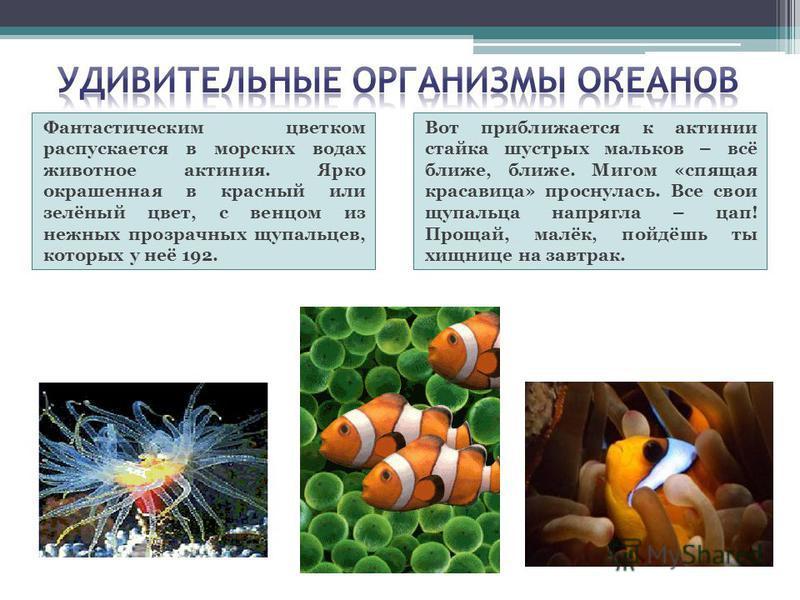 Фантастическим цветком распускается в морских водах животное актиния. Ярко окрашенная в красный или зелёный цвет, с венцом из нежных прозрачных щупальцев, которых у неё 192. Вот приближается к актинии стайка шустрых мальков – всё ближе, ближе. Мигом
