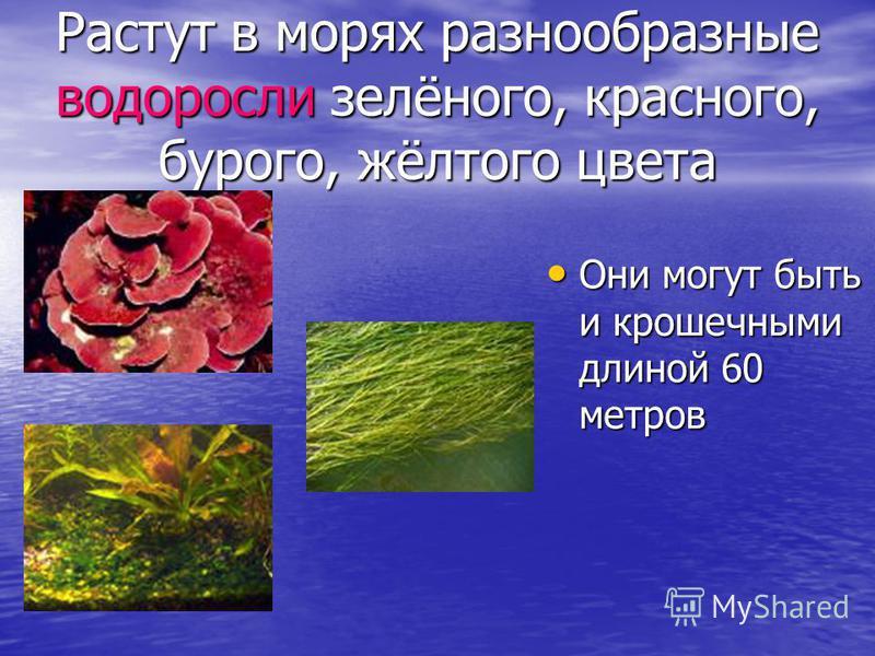 Растут в морях разнообразные водоросли зелёного, красного, бурого, жёлтого цвета Они могут быть и крошечными длиной 60 метров Они могут быть и крошечными длиной 60 метров