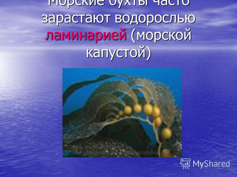 Морские бухты часто зарастают водорослью ламинарией (морской капустой)