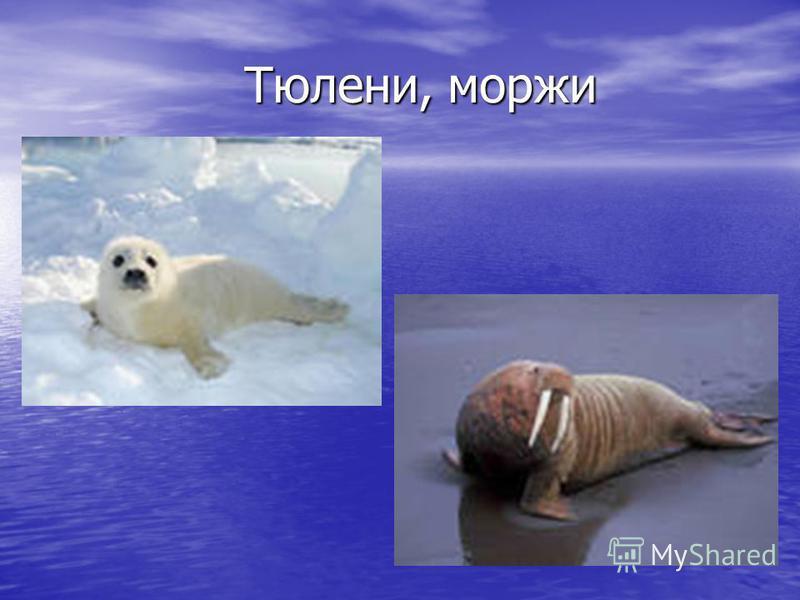 Тюлени, моржи