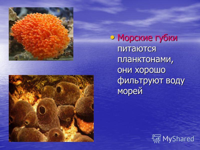 Морские губки питаются планктонами, они хорошо фильтруют воду морей Морские губки питаются планктонами, они хорошо фильтруют воду морей