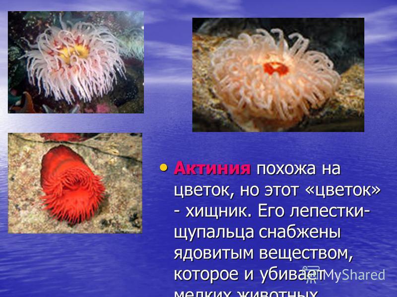 Актиния похожа на цветок, но этот «цветок» - хищник. Его лепестки- щупальца снабжены ядовитым веществом, которое и убивает мелких животных. Актиния похожа на цветок, но этот «цветок» - хищник. Его лепестки- щупальца снабжены ядовитым веществом, котор