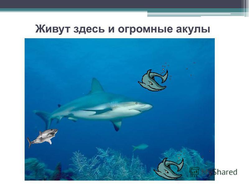 Живут здесь и огромные акулы