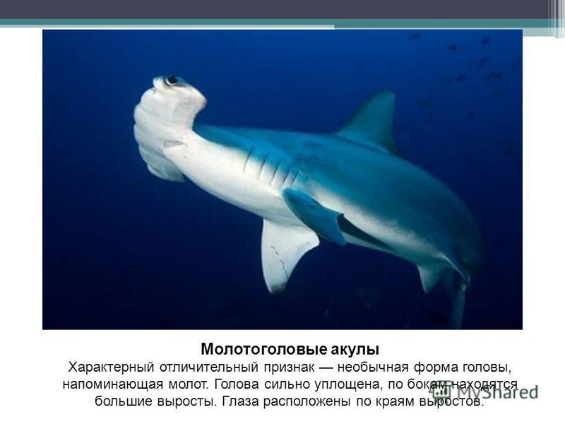Молотоголовые акулы Характерный отличительный признак необычная форма головы, напоминающая молот. Голова сильно уплощена, по бокам находятся большие выросты. Глаза расположены по краям выростов.