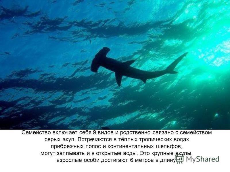 Семейство включает себя 9 видов и родственно связано с семейством серых акул. Встречаются в тёплых тропических водах прибрежных полос и континентальных шельфов, могут заплывать и в открытые воды. Это крупные акулы, взрослые особи достигают 6 метров в
